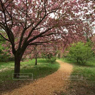 #八重桜#つくば市#高崎自然の森の写真・画像素材[483834]