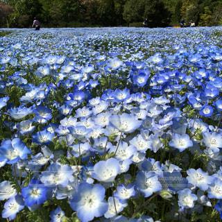 ネモフィラ  野田市清水公園  青の世界  規模は狭い  可憐な花畑の写真・画像素材[484038]