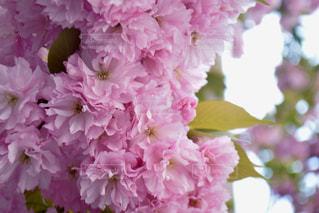 花の写真・画像素材[484483]