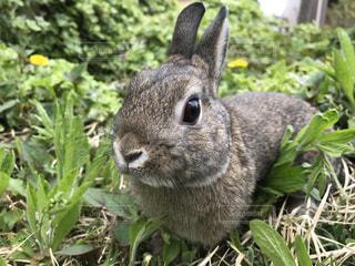 野のウサギの写真・画像素材[1330490]