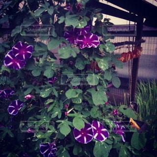 大きな紫色の花は、庭の写真・画像素材[1225699]