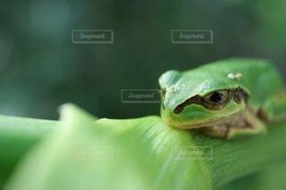 緑のカエルの写真・画像素材[3722631]