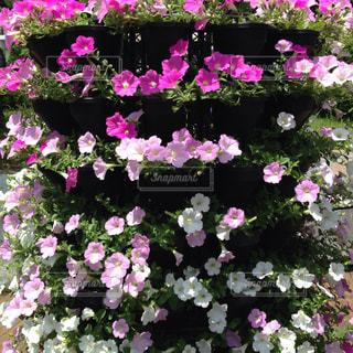 花の写真・画像素材[507203]