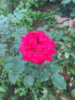 花の写真・画像素材[518384]