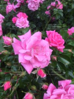 花の写真・画像素材[518387]
