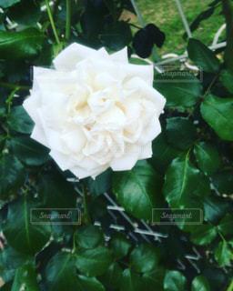 花の写真・画像素材[518390]