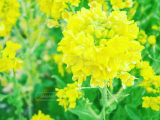 近くに緑の葉と黄色の菜の花のアップの写真・画像素材[762865]