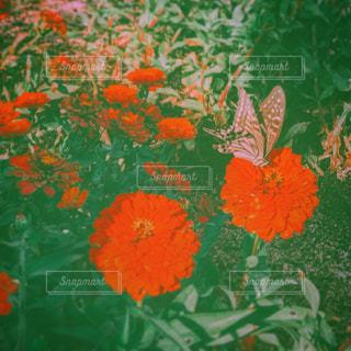 花の上を舞う蝶々の写真・画像素材[932323]