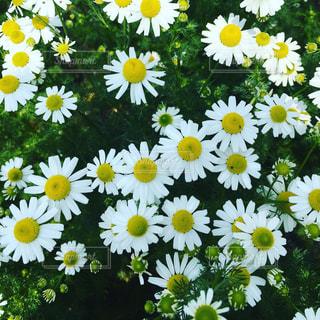 花の写真・画像素材[486469]