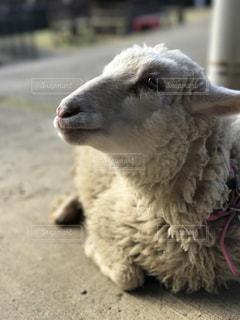 羊の写真・画像素材[488010]