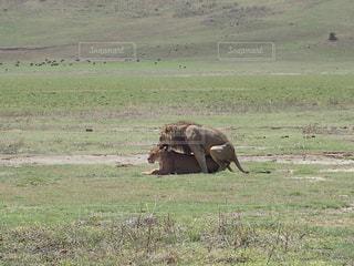 タンザニアのサファリ(ンゴロンゴロ)で交尾するライオンのカップルの写真・画像素材[964542]