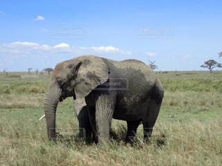 タンザニアのサファリ(セレンゲティ)の草原に佇むゾウの写真・画像素材[964598]
