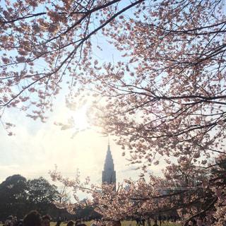 #新宿御苑 #新宿御苑でお花見 #桜 #お花見 #新宿 #桜の季節 #夕焼けの写真・画像素材[488429]