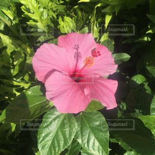 ハワイ ハイビスカス 夏 植物の写真・画像素材[1350562]