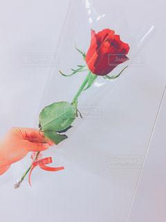 バラのプレゼントの写真・画像素材[504342]