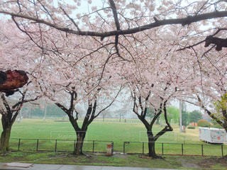 公園の木の写真・画像素材[775314]