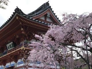 桜の写真・画像素材[490224]