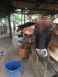 牛は土に立っています。の写真・画像素材[709785]
