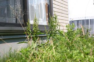 雑草草家草だらけ草がり草むしり緑の写真・画像素材[599563]