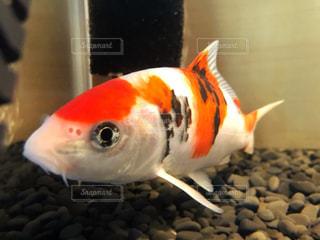 オレンジ色の魚の口を開いての写真・画像素材[1503109]