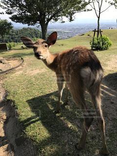 鹿の写真・画像素材[560287]