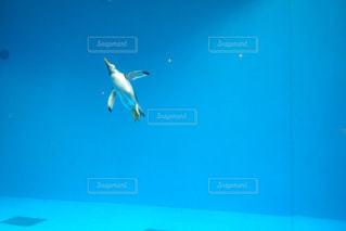 ペンギンの写真・画像素材[491812]