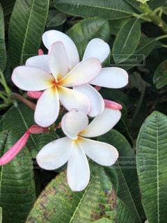 緑の葉を持つピンクの花の束の写真・画像素材[2384477]