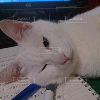 白猫の写真・画像素材[501883]