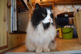カウンターに座っている猫の写真・画像素材[1054276]