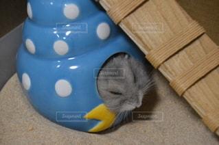 熟睡中のハムスターの写真・画像素材[2565975]