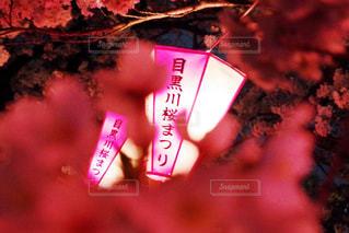 桜の写真・画像素材[495082]