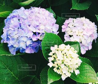 紫陽花の写真・画像素材[531770]