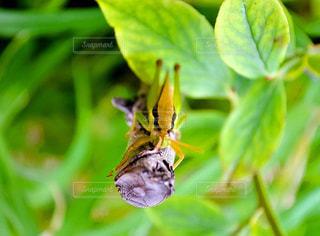 生き物  虫  バッタの写真・画像素材[501879]