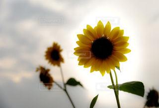 花の写真・画像素材[651750]