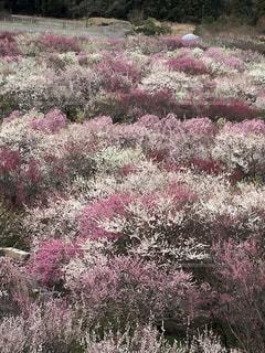 梅の絨毯の写真・画像素材[1077561]