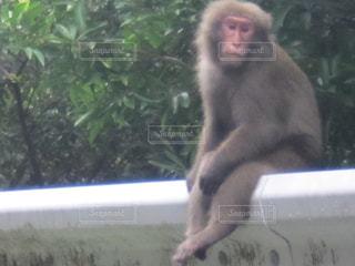 猿の写真・画像素材[496834]