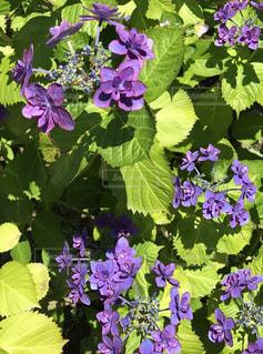 紫の写真・画像素材[571909]