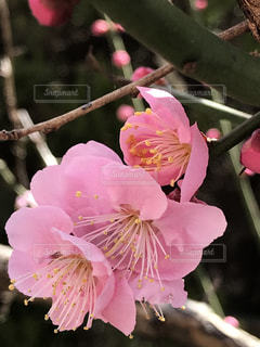 梅の花が咲きましたの写真・画像素材[1025033]
