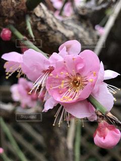 我が家の梅の花の写真・画像素材[1025038]