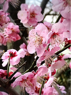 我が家の梅の写真・画像素材[1026352]