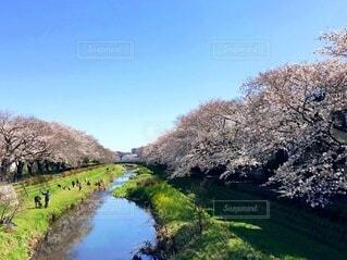 満開の桜の写真・画像素材[4130255]