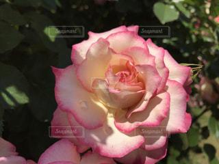 花の写真・画像素材[508383]