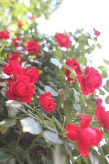 花の写真・画像素材[508386]