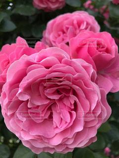 花の写真・画像素材[508423]