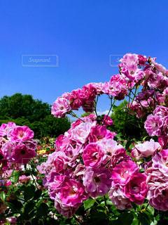 花の写真・画像素材[551075]