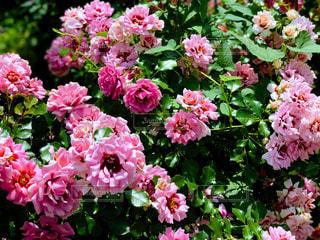 花の写真・画像素材[551077]