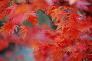 ピンクの花の木の写真・画像素材[707843]