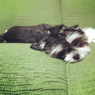 ベッドの上に横たわる犬の写真・画像素材[1204425]