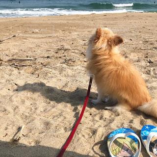砂浜とチワワの写真・画像素材[730477]