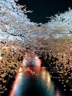 夜桜の写真・画像素材[1104658]